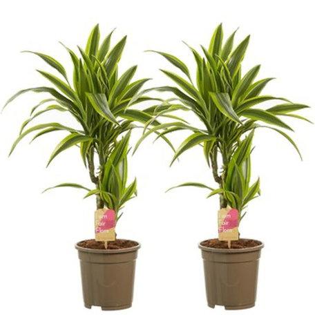 2x Drakenboom - Hoogte: 70 cm - Twee stammen - Dracaena lemon Lime - luchtzuiverend