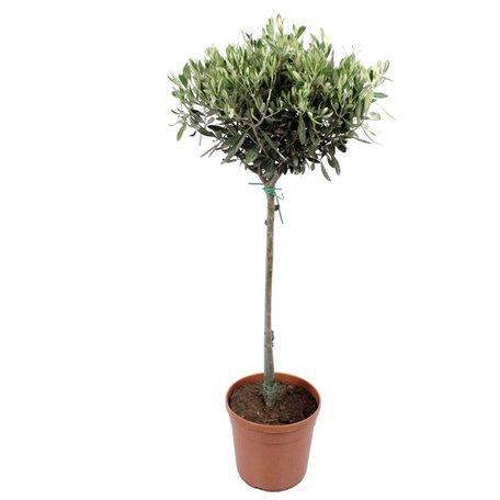 Olijfboom - Hoogte: 100 cm - Olea Europaea