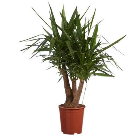 Yucca - Palmlelie - Hoogte: 90 - Yucca elephantipes - Met Fair Flora label: eerlijk en duurzaam.