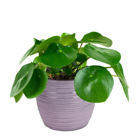 2 x Pannenkoekenplant - Hoogte: 20 cm - Pilea Peperomioides