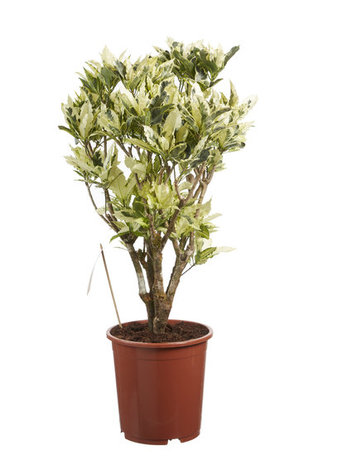 Croton - Hoogte: 100 cm - Codiaeum variegatum Tamara - Met Fair Flora label: eerlijk en duurzaam.