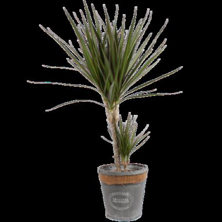 Dracaena Marginata in grijze chipwood pot (Dracaena Marginata)