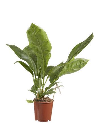 2 x Anthurium Jungle King - Hoogte: 60 cm - Met Fair Flora label: eerlijk en duurzaam