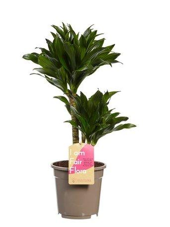 2 x Drakenboom - Hoogte: 60 cm - Dracaena deremensis Compacta - luchtzuiverend
