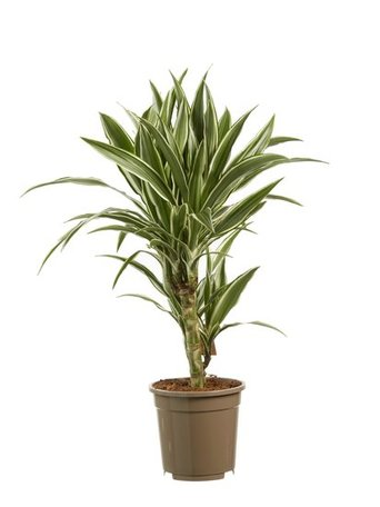 2 x Drakenboom - Hoogte: 60 cm - Dracaena dermensis Witte streep - luchtzuiverend