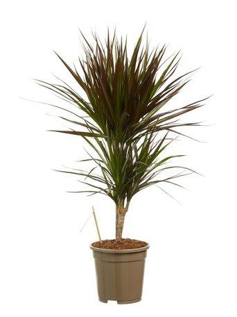 Drakenboom - Hoogte: 80 cm - Dracaena marginata Margenta - luchtzuiverend