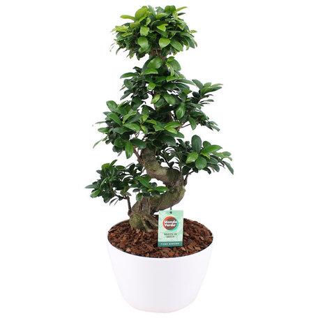 Bonsai - Hoogte: 70 cm - Ficus ginseng - met witte keramiek sierpot