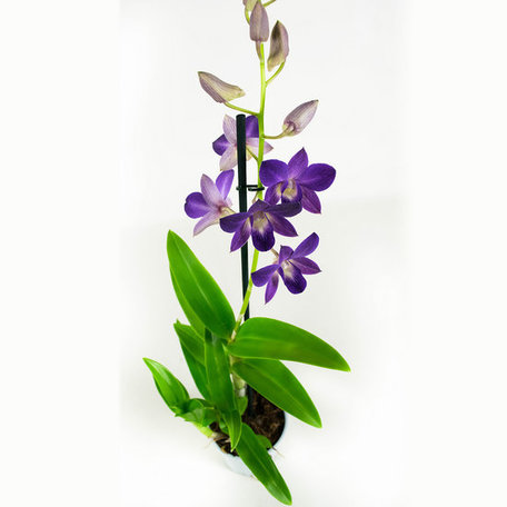 2 x Bamboe Orchidee paars - Hoogte: 55 cm - Dendrobium Sa-Nook (Thaise orchidee)