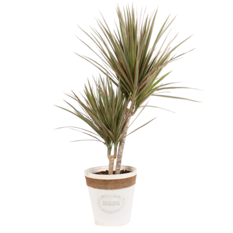 Drakenboom tweekleurig met witte, echt houten pot als set - Hoogte: 75 cm - Dracaena marginata Bicolor