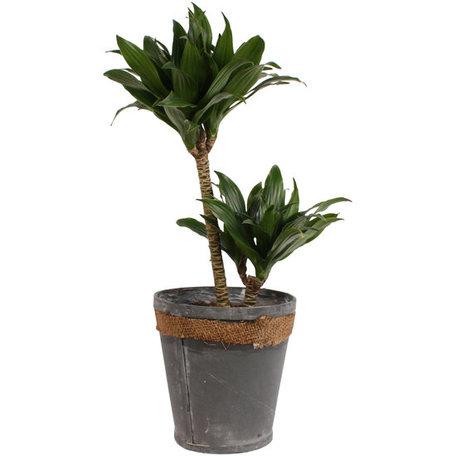 Drakenboom in grijze chipwood pot - Hoogte: 60 cm - Een explosie van groen.