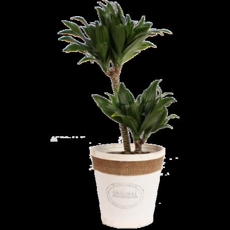 Drakenboom in witte chipwood pot - Hoogte: 60 cm - Een explosie van groen. - Luchtzuiverend