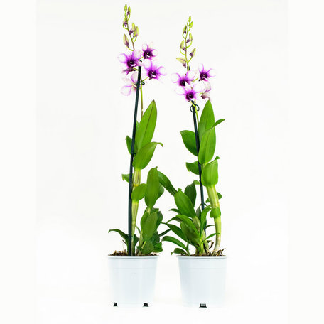 2 x Bamboeorchidee paars en wit - Hoogte: 55 cm - Dendrobium Sa-Nook