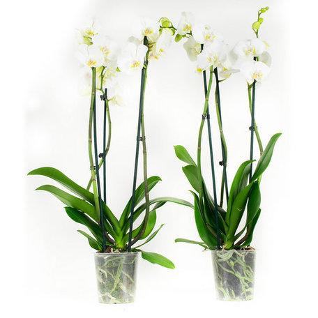 2 x Vlinderorchidee Wit - Hoogte: 60 cm - Phalaenopsis multiflora