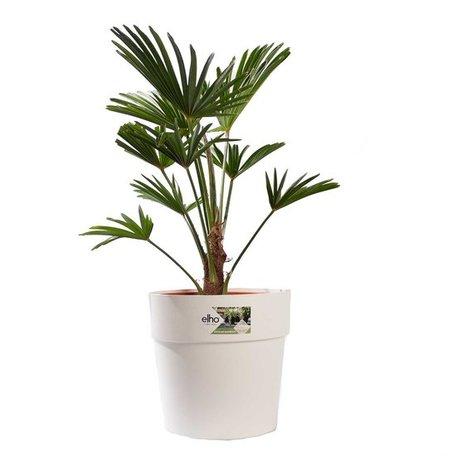 Wagner palm - Hoogte: 75cm - Trachycarpus Wagneriana met ELHO sierpot (wit)