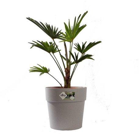 Wagner palm - Hoogte: 75cm - Trachycarpus Wagneriana met ELHO sierpot (Grijs)