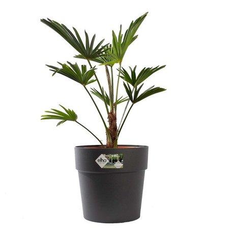 Wagner palm - Hoogte: 75cm - Trachycarpus Wagneriana met ELHO sierpot (antraciet)