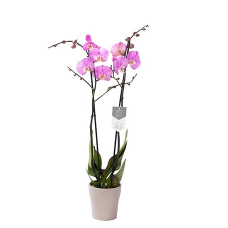 Vlinderorchidee - Phalaenopsis Luxor in Anna taupe pot