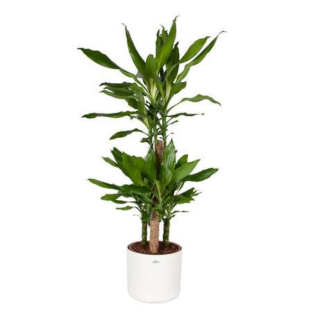 Drakenplant - Dracaena steudneri Green Elho B.for soft sierpot wit - Luchtzuiverend