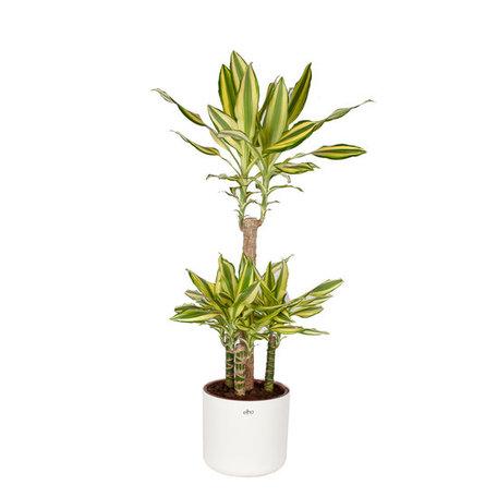Drakenplant - Dracaena Yellow Coast Elho B.for soft sierpot wit - Luchtzuiverend