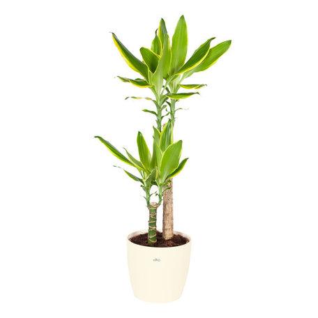 Drakenplant - Dracaena Golden Coast Elho Brussels Round creme