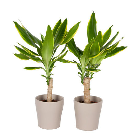 Drakenplant - Duo Dracaena Golden Coast in Anna taupe pot