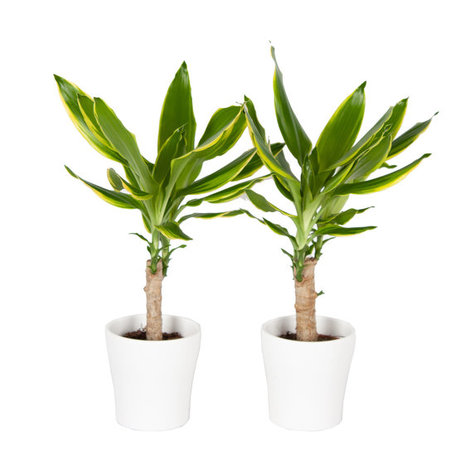 Drakenplant - Duo Dracaena Golden Coast in Anna wit - Luchtzuiverend