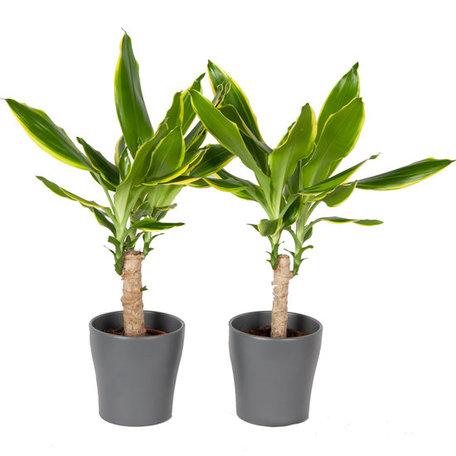 Drakenplant - Duo Dracaena Golden Coast in Anna grijs - Luchtzuiverend