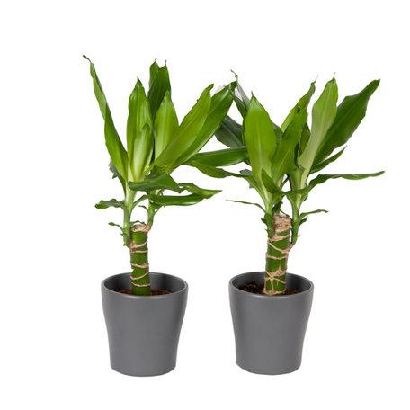 Drakenplant - Duo Dracaena Steudneri Green - in Anna pot grijs