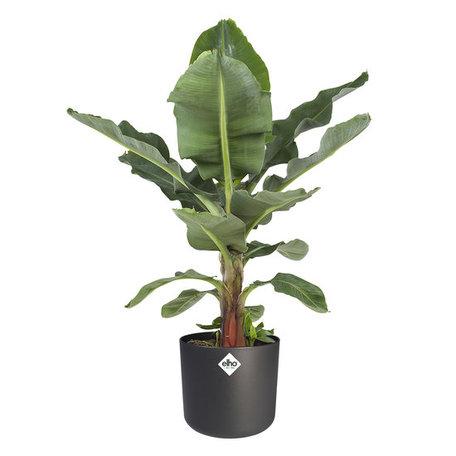 Bananenplant - Musa in ® ELHO b.for soft sierpot- Donker grijs - Hoogte: 80 cm - Musa Dwarf cavendish