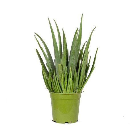 Aloe Vera - Hoogte: 60cm