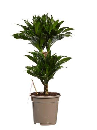 Dracaena Compacta(Dracaena deremensis Compacta)