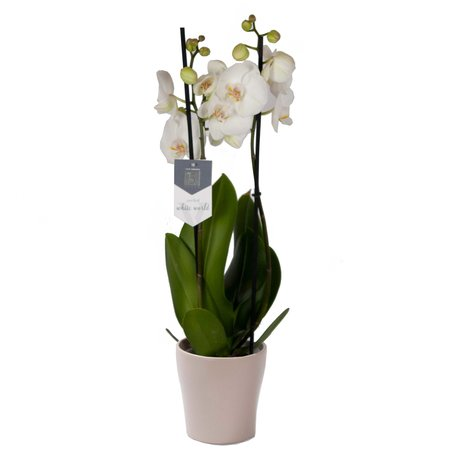 Phalaenopsis White World in Anna taupe()