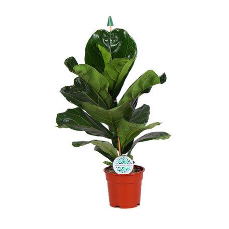 Ficus Lyrata(1747)