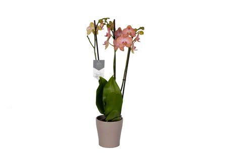 Phalaenopsis Ravello in Anna taupe()