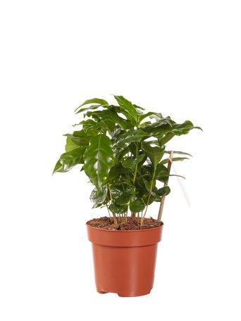 Koffie plant(PNLCOF12)