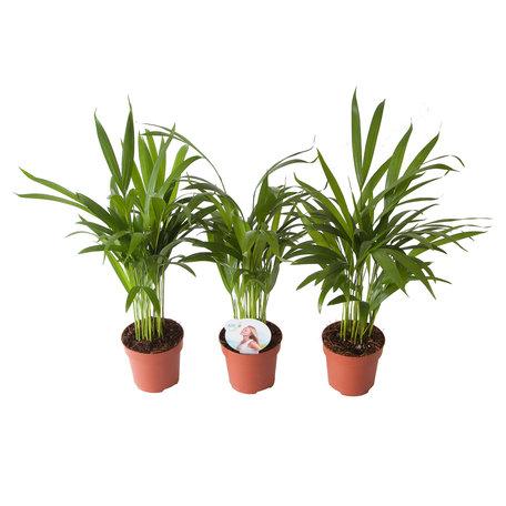 Goudpalm (Areca / Dypsis Palm)(PNLDYP12)