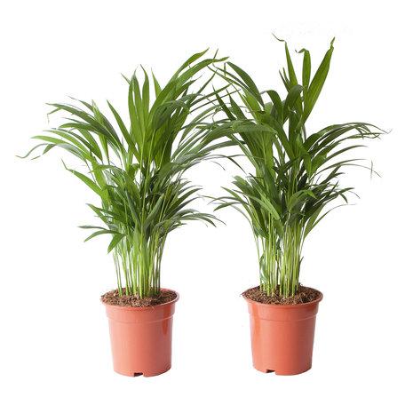 Goudpalm (Areca / Dypsis Palm)(PNLDYP17)