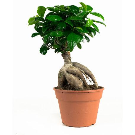 Ficus Gin Seng(FGW17)