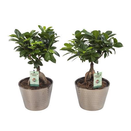 Ficus Gin Seng Wyberline goud(FGW17WYGO)