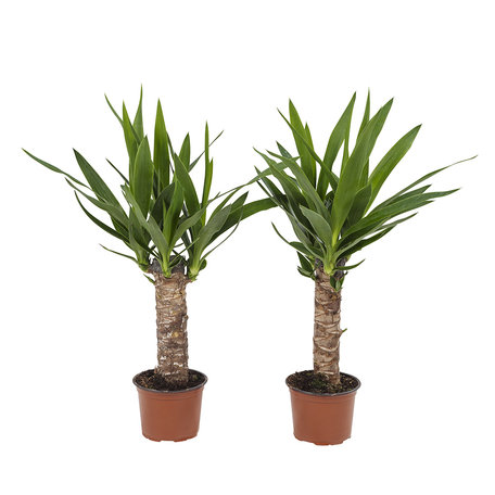 Yucca (YUC12)