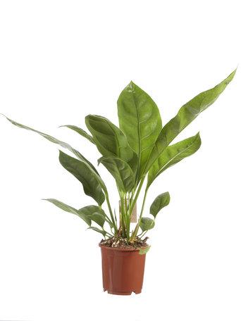 Anthurium Jungle King ( Anthurium Jungle King )