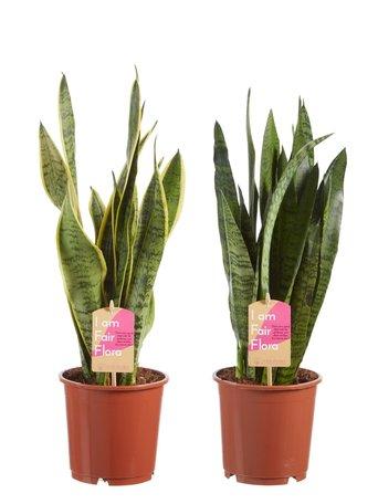 2 x Vrouwentong - Hoogte: 50 cm - sansevieria laurentii - Licht + donkere variant - luchtzuiverend en Fair Flora label