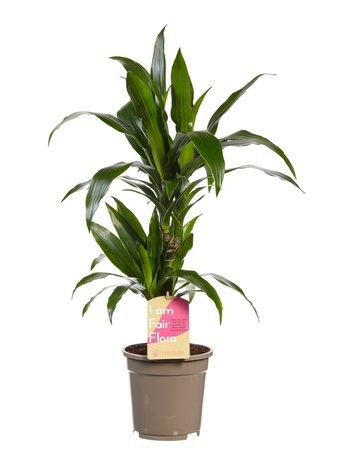 Drakenboom - Hoogte: 70 cm - Dracaena Janet Graig - luchtzuiverend