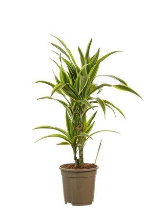 Drakenboom - Hoogte: 70 cm - Dracaena lemon Lime - luchtzuiverend