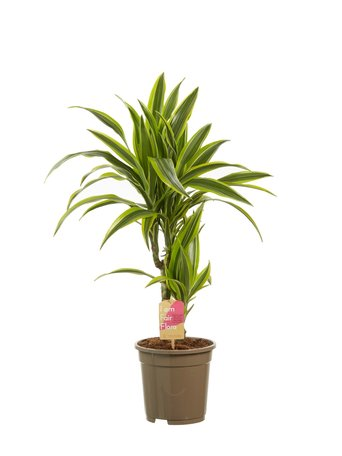 Dracaena lemon Lime(Dracaena dermensis Lemon Lime)