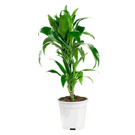 Dracaena fragans janet craig(Dracaena)