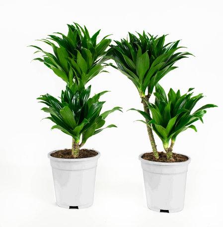 Dracaena fragans compacta(Dracaena)