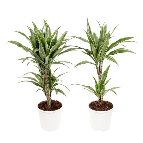 Dracaena Fragrans 'Warneckii'(Drakenbloedboom)