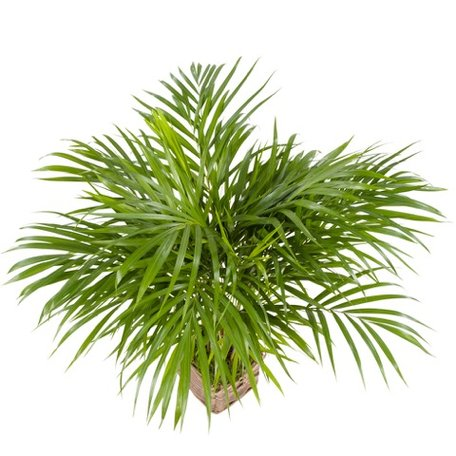 Goudpalm in rieten mand (Areca Dypsis Lutescens)