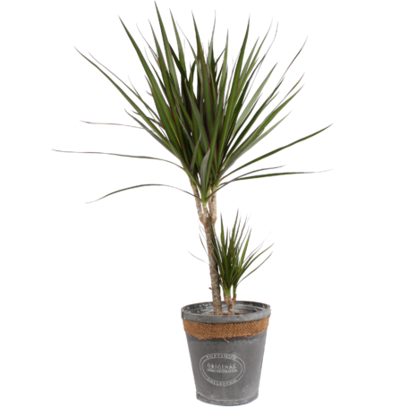 Dracaena Marginata in grijze chipwood pot (Dracaena Marginata)